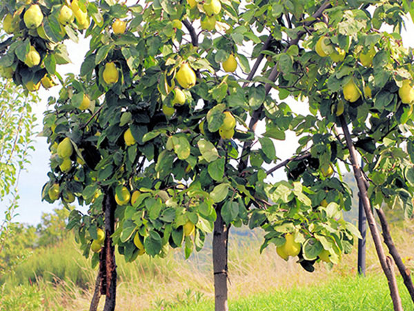 A Quince tree in Your Garden. Now That Would Make any Real Estate in Istanbul Interesting